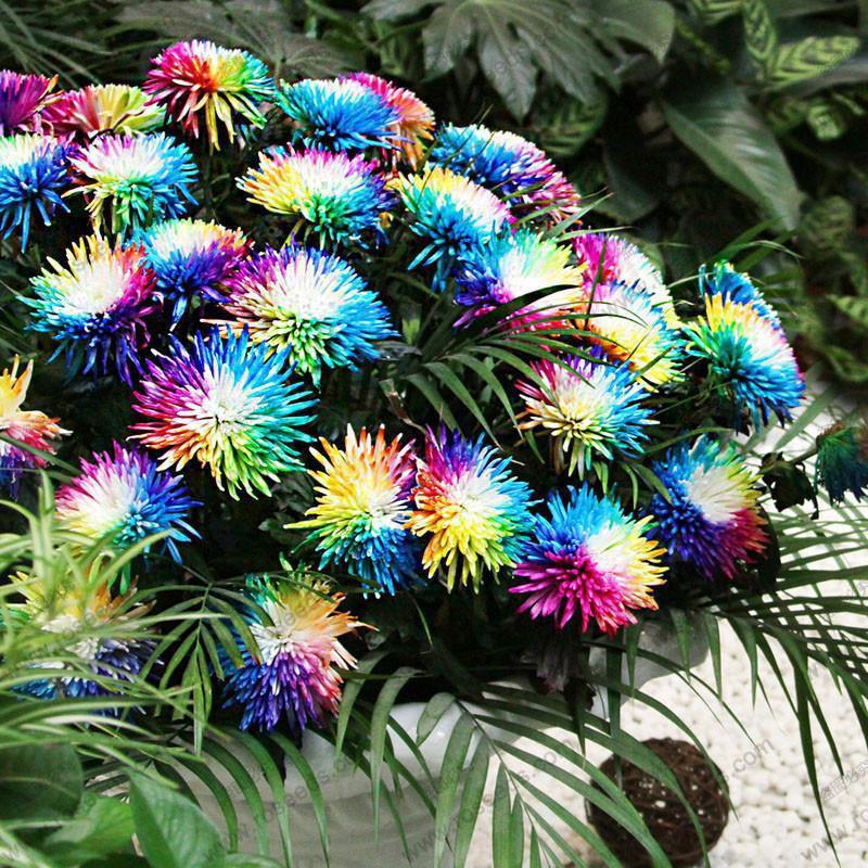 100pcs regenbogen chrysantheme blumen samen ungew hnliche colorful garden balaco ebay. Black Bedroom Furniture Sets. Home Design Ideas