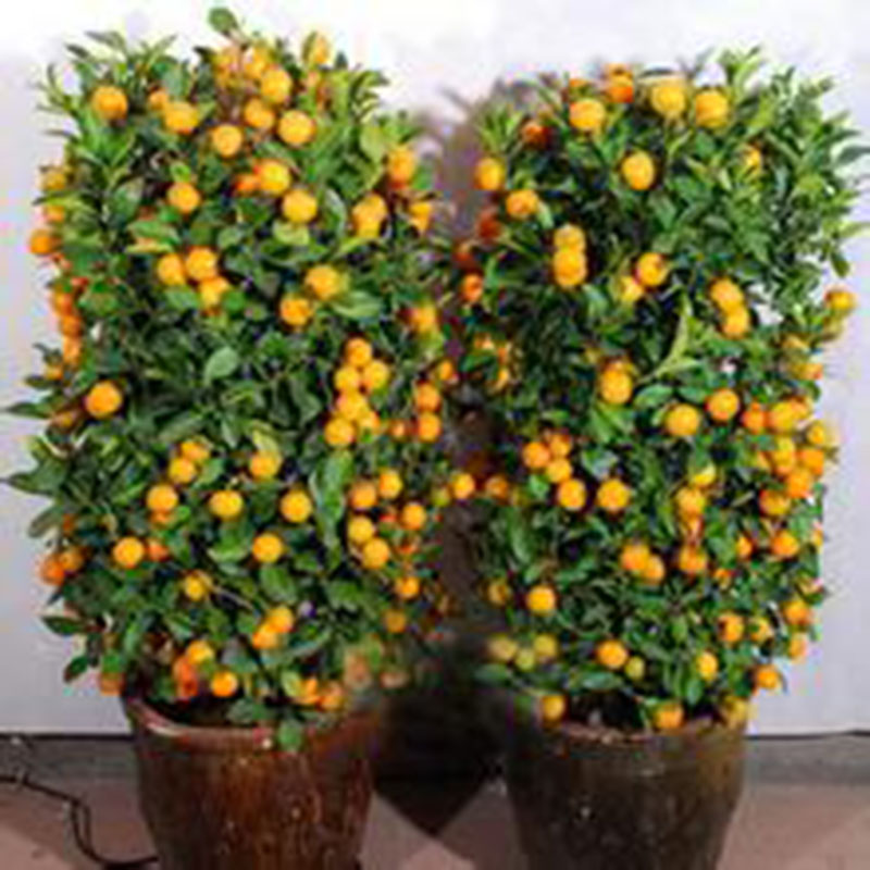 Sweet Pcspack Calamondin Minature Fruit Tree Seed Dwarf Citrus  With Glamorous Preview With Extraordinary Wooden Garden Arch With Planters Also Garden Centres Near Winchester In Addition Garden Fort And Covent Garden Xmas As Well As Ann Summers Covent Garden Additionally Water Gardens From Ebaycom With   Glamorous Pcspack Calamondin Minature Fruit Tree Seed Dwarf Citrus  With Extraordinary Preview And Sweet Wooden Garden Arch With Planters Also Garden Centres Near Winchester In Addition Garden Fort From Ebaycom