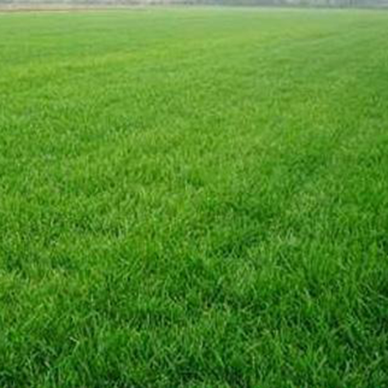 10000x tall fescue green grass seed festuca arundinacea for Tall outdoor grasses