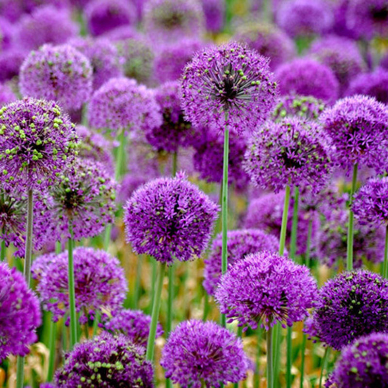 20pcs purple giant allium giganteum seeds beautiful plant flower garden ebay. Black Bedroom Furniture Sets. Home Design Ideas