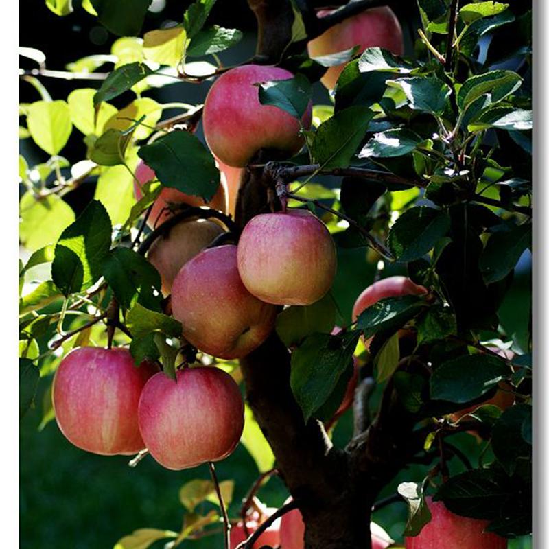 20 Bonsai Apple Tree Seeds Garden Yard Outdoor Living