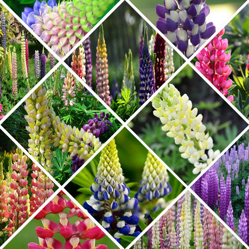 100 mixed russell lupine seeds lupinus beautiful polyphyllus flower garden ebay. Black Bedroom Furniture Sets. Home Design Ideas