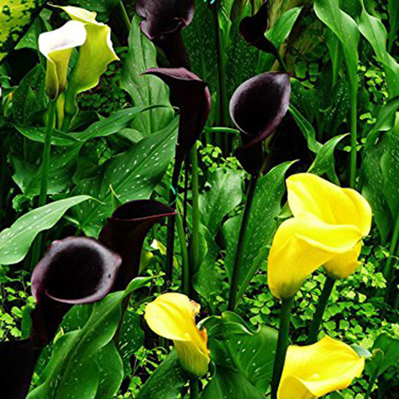 100pcs bonsai bunte calla lilien samen seltene pflanzen. Black Bedroom Furniture Sets. Home Design Ideas