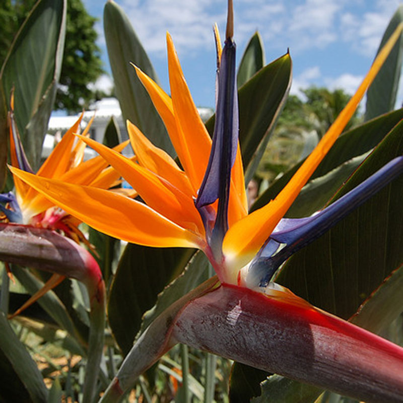 12 graines de fleurs oiseau du paradis strelitzia reginae semente seeds. Black Bedroom Furniture Sets. Home Design Ideas