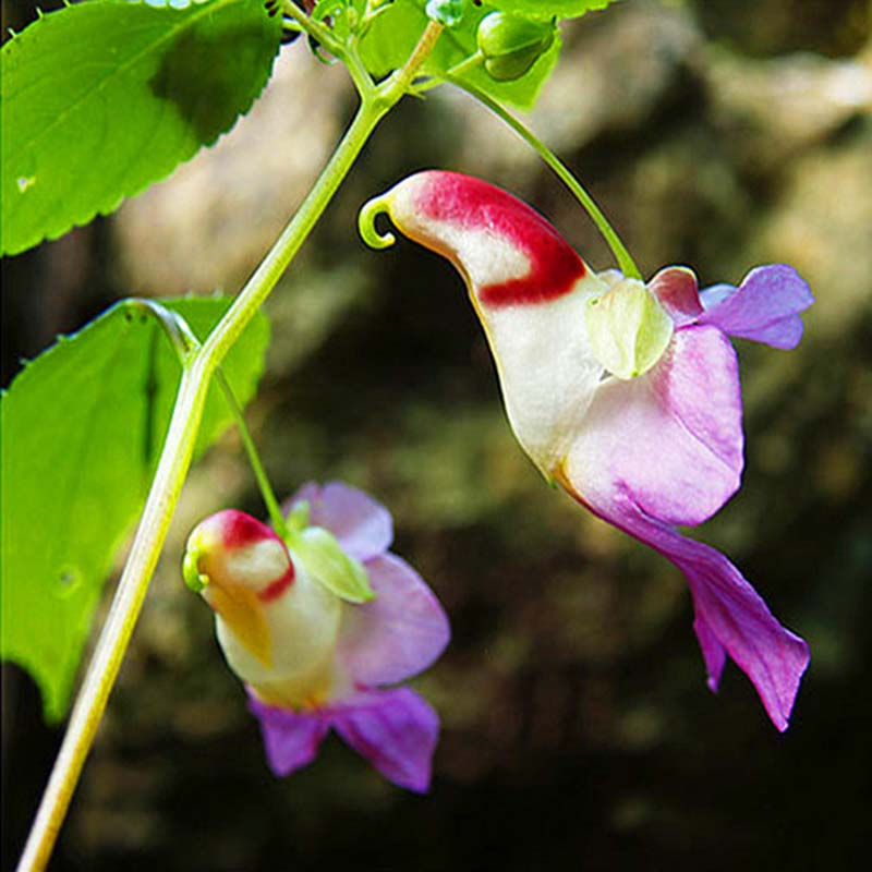 20 pcs china rare parrot orchid flower seeds for home plant new ebay. Black Bedroom Furniture Sets. Home Design Ideas