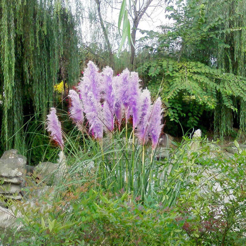 500pcs purple pampas grass seeds furry ornamental plant
