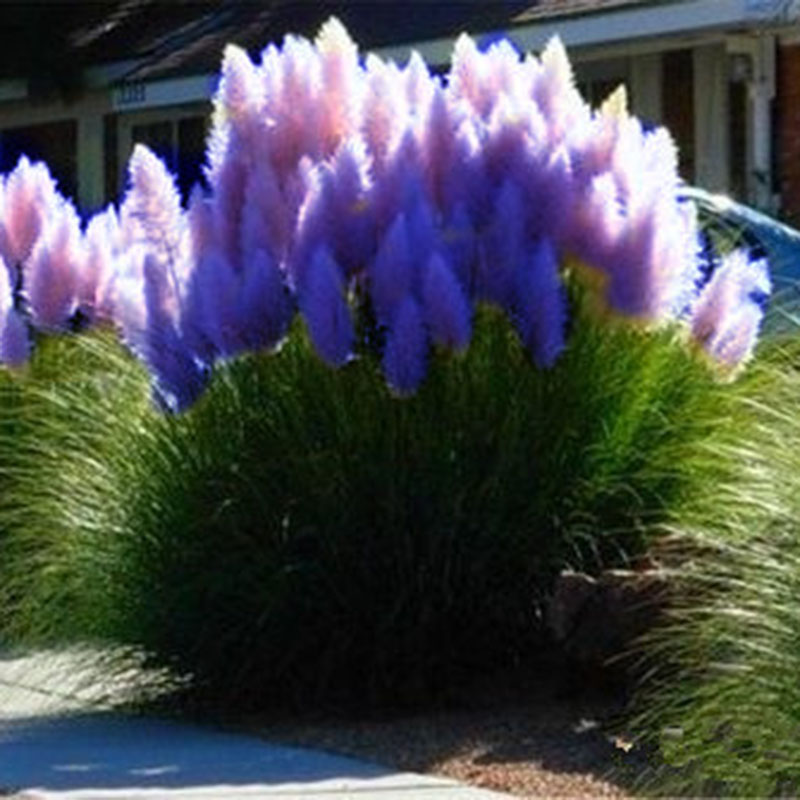 500pcs purple pampas grass seeds furry ornamental plant. Black Bedroom Furniture Sets. Home Design Ideas