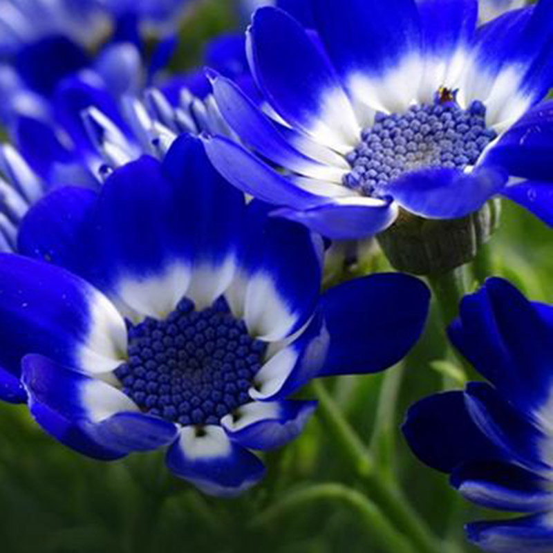 pcs rare blue daisy plants flower seeds exotic ornamental, Beautiful flower