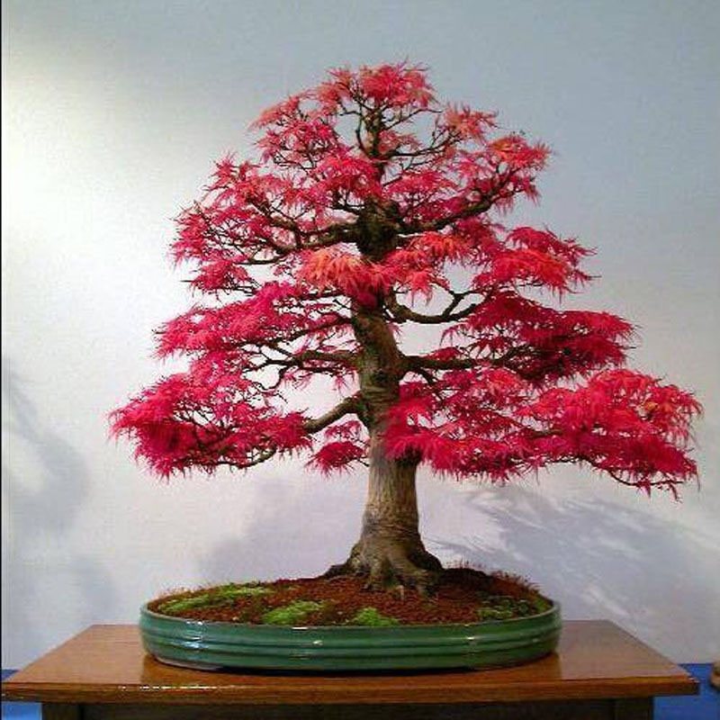 how to grow red maple bonsai from seed
