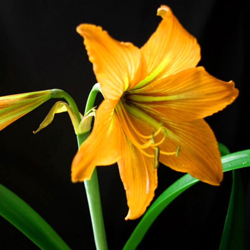 Lot 2pcs white yellow sunrise amaryllis bulbs hippeastrum for Bulbes amaryllis conservation