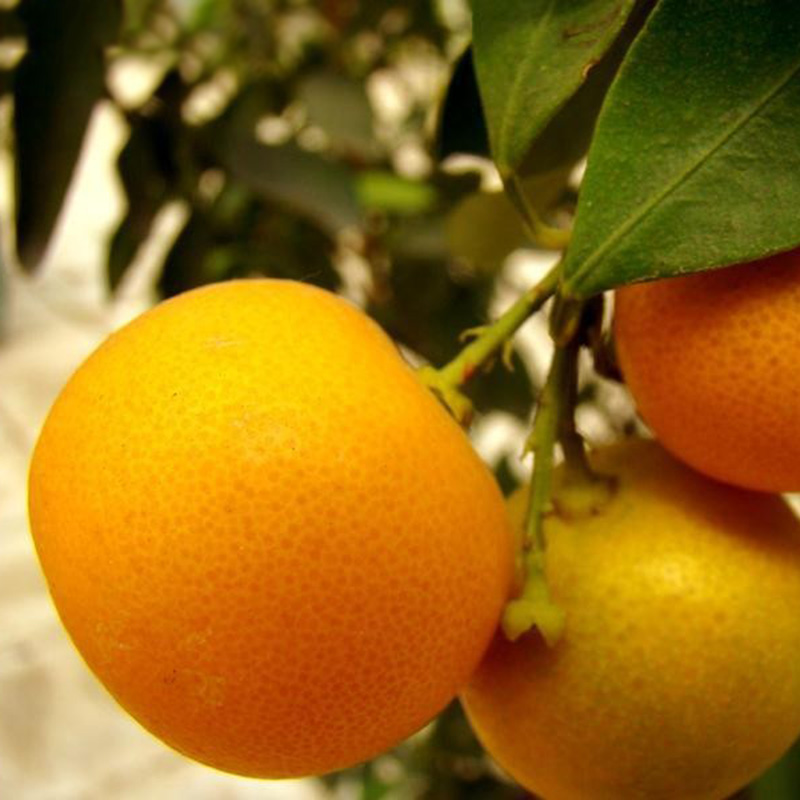 50Pcs Mini Potted Orange Tree Climbing Seed ,Sweet Orange