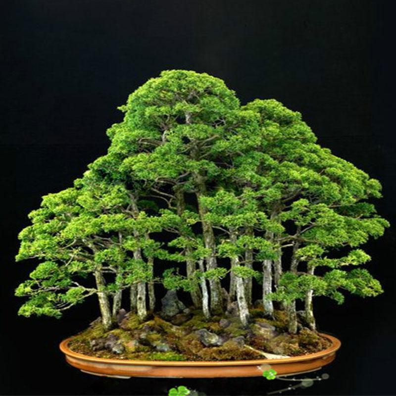 20pcs japanese white pine pinus parviflora green plants tree bonsai seeds decor ebay. Black Bedroom Furniture Sets. Home Design Ideas