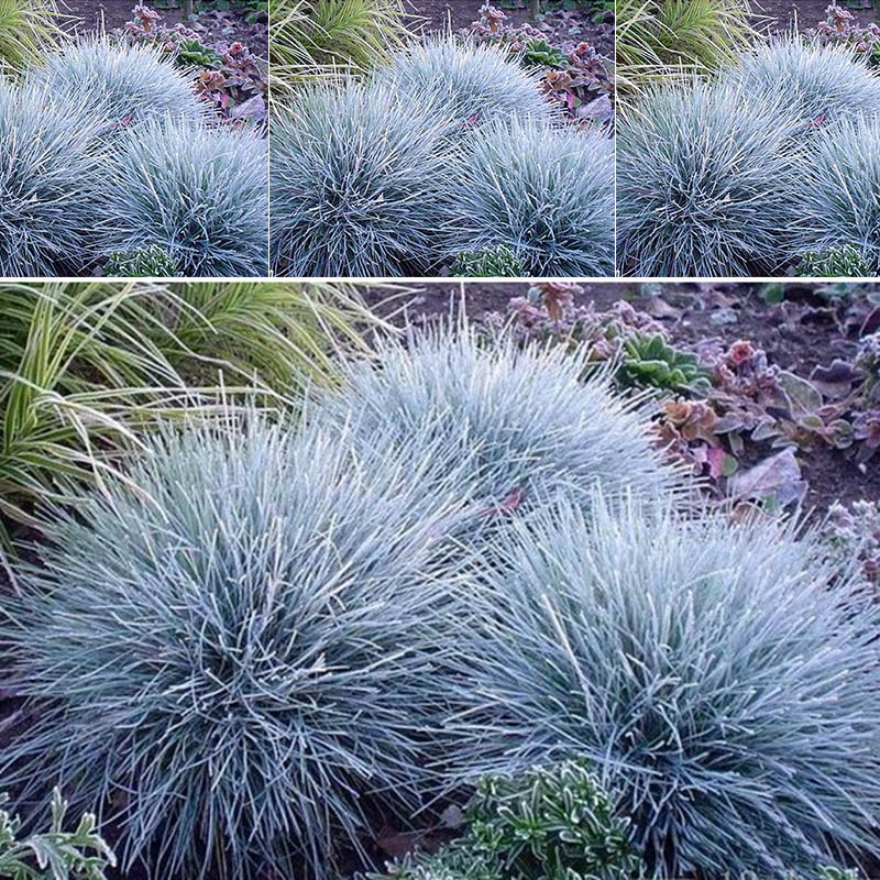 100pcs ornamental grass seeds blue fescue plants perennial for Small blue ornamental grass