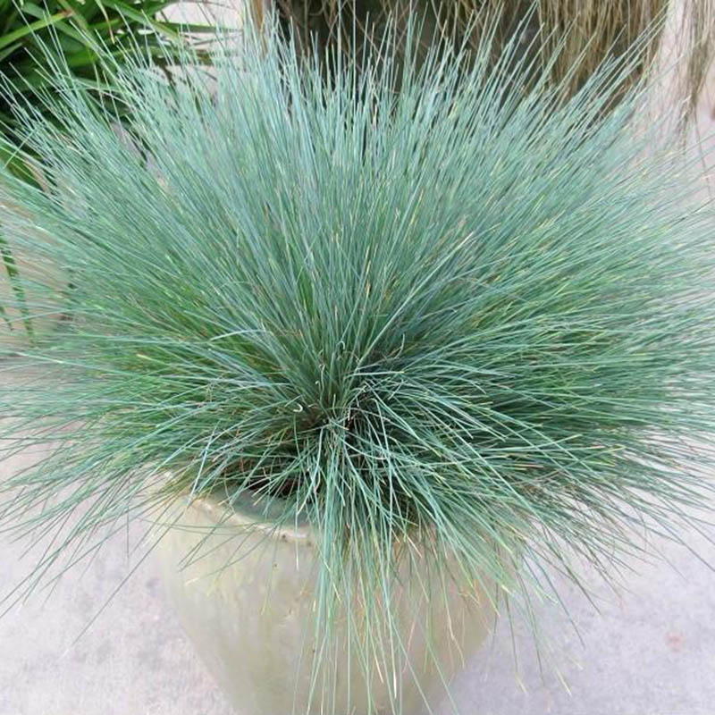 100pcs ornamental grass seeds blue fescue plants perennial for Blue ornamental grass
