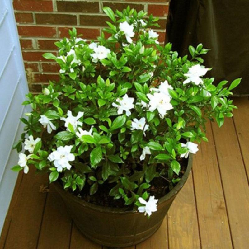 100pcs gardenia cape jasmine jasminiodes bianco cespuglio - Gardenia pianta da giardino ...