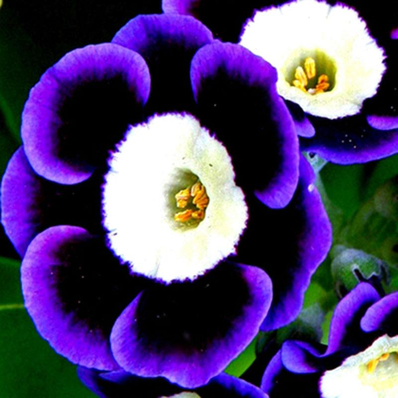 100 stk tricolor petunien samen petunia blumen fuer garten balkon ampel petunie ebay. Black Bedroom Furniture Sets. Home Design Ideas