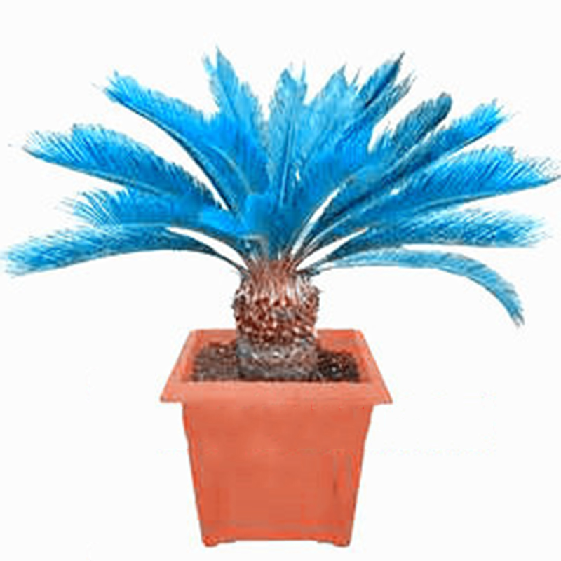 100pcs blue cycas seeds sago palm tree beeds bonsai blower seeds rare ebay. Black Bedroom Furniture Sets. Home Design Ideas