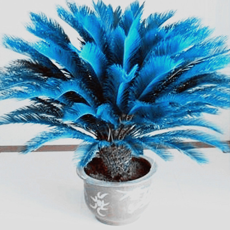 rare 100pcs blue cycas seeds sago palm tree beeds bonsai blower seeds ebay. Black Bedroom Furniture Sets. Home Design Ideas