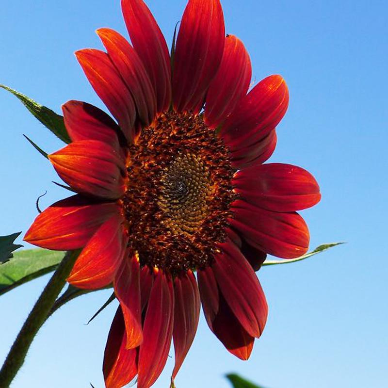 15 pcs RED SUN SUNFLOWER Helianthus Annuus Seeds Multiple ...