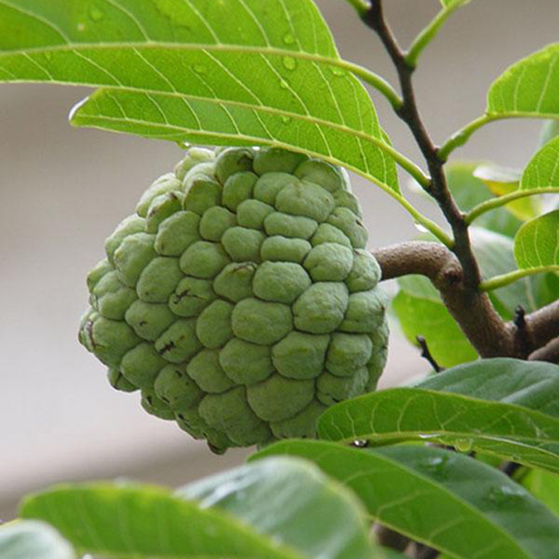 ... Apple Annona Soursop Seeds Annona Muricata Seeds Tropical Fruit | eBay