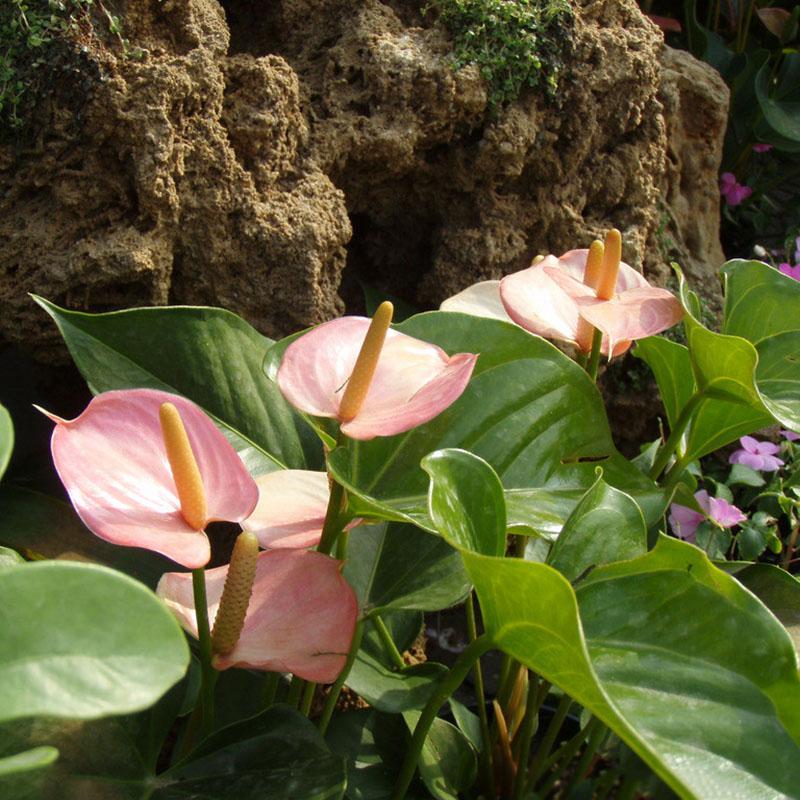amethyst calla lily bulbs
