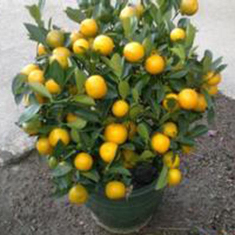 30pcs/pack Calamondin Minature Fruit Tree Seed Dwarf