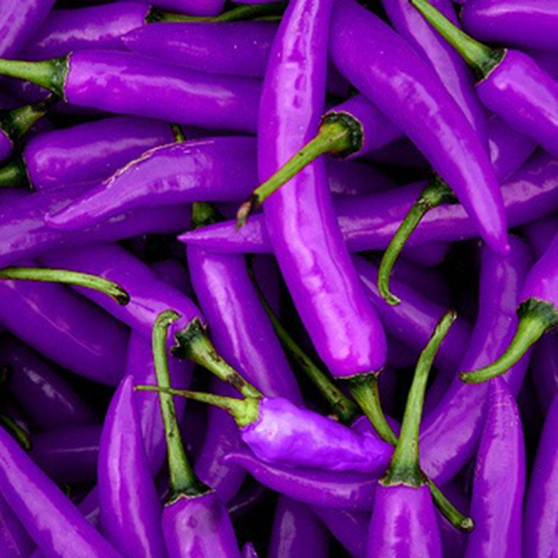 100Pcs Jalapeno Purple lila-schwarze Chili fruchtig-scharfe  Gemüsesamen