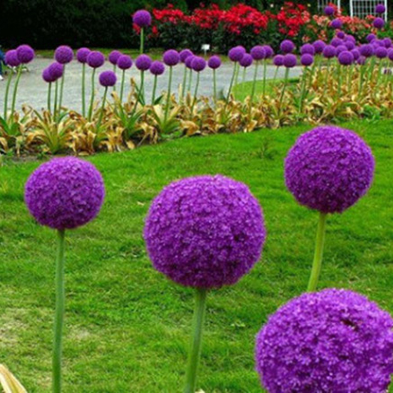 New 10Pcs Purple Giant Allium Giganteum Flower Seeds Garden Plant Wholesale