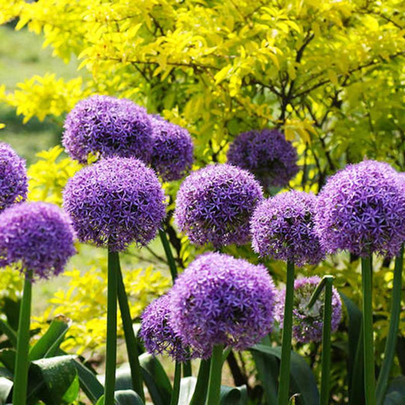 Winterhart Zierlauch Allium Giganteum Samen//Seeds 30x Riesen Lauch Rare