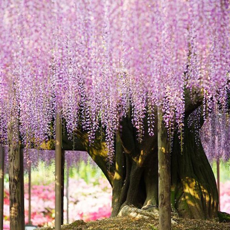 10 Xlila Floribunda Wisteria Chinesische Vine Samen Blumen Garten