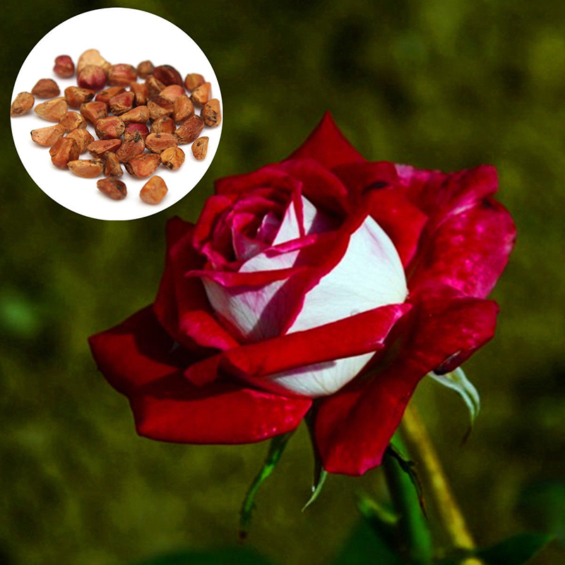 20pcs rare seed osiria rose ruby rose flower seeds garden plants red preview mightylinksfo