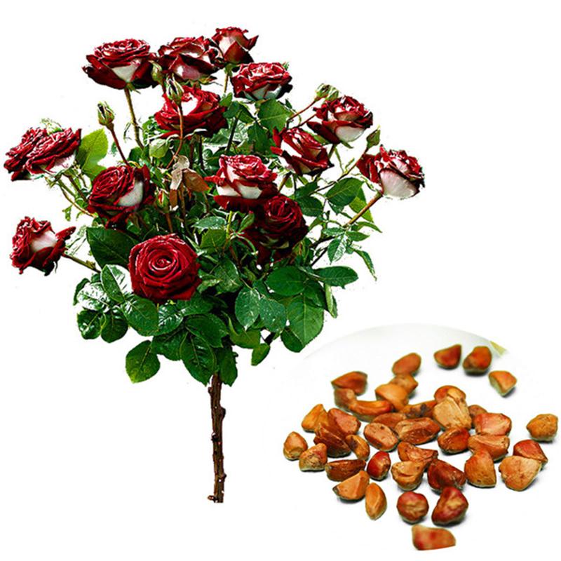 20Pc Rare Seed Osiria Rose Ruby Rose Blumensamen Gartenpflanze Rot Mit Weißem