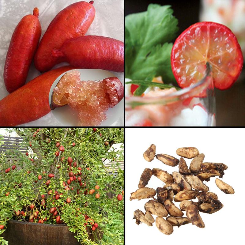 ein toller Schmuck. die kleinen Früchte der Zier-Granatapfel blüht reichlich