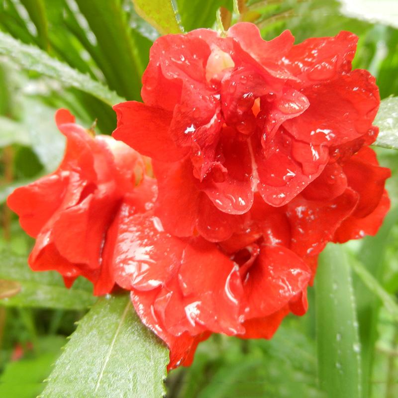 120pcs Bunte Garten-Balsam-Samen Impatiens Balsamina Garten-Blumen Pflanzen