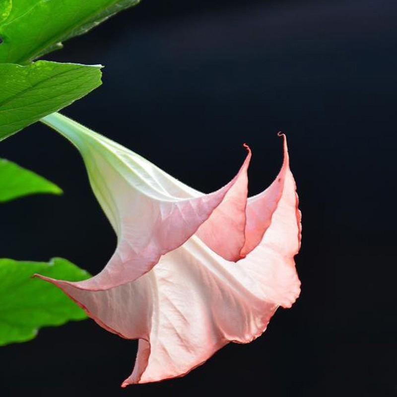 20pcs Red Brugmansia Datura Seeds Engelstrompeten Riesige Blüten-Blumen-S