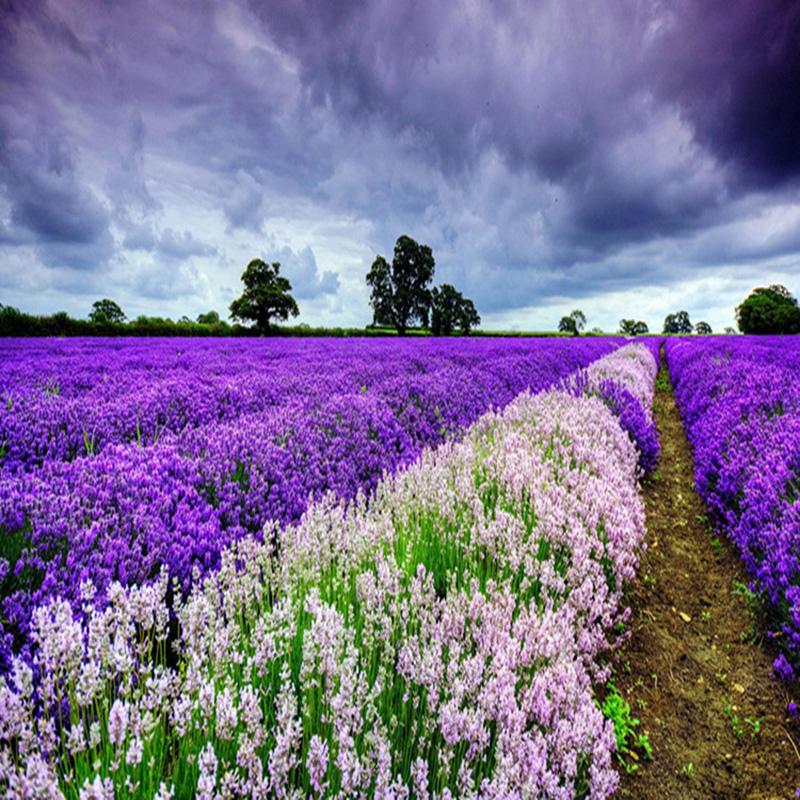 400 samen echter lavendel lavandula angustifolia lavendelsamen ebay. Black Bedroom Furniture Sets. Home Design Ideas