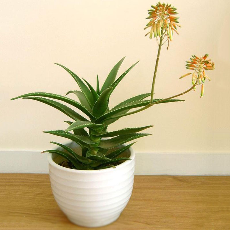 400X Spezielle Aloe Samen Exotische Sukkulenten Kaktus Hausgarten Pflanzend R5B6