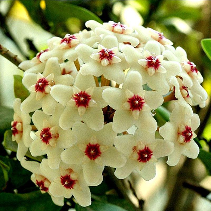 ball orchidee samen hoya anlage 20 teile//beutel hoya samen seltene bonsai