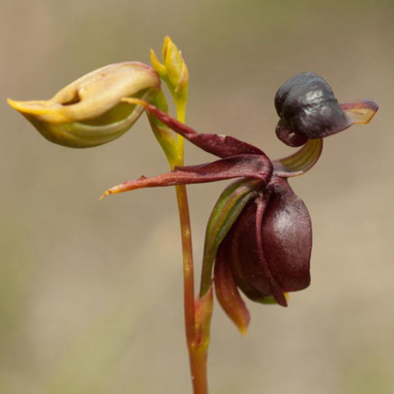100pcs Flying Duck Orchid Seeds China Rare Beautiful Orchids Deko