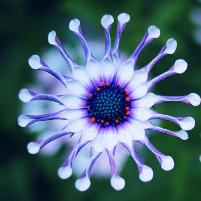 50pcs rare blue daisy plants flower seeds exotic ornamental flowers