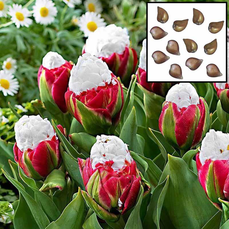 2pcs Rare Cabbage Tulip Seed Bulbs Aroma Tulip Garden Seeds D7f0