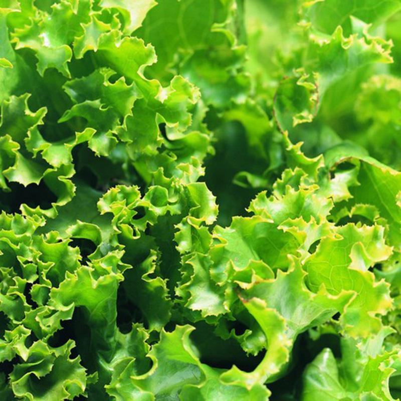 1000 Seeds Eisbergsalat Lactuca Sativa Eisberg Salat Eissalat