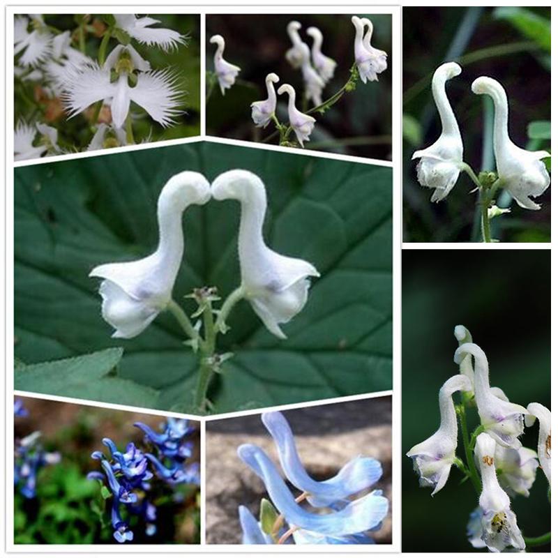 100Pc Netter Schwan Blumen Samen Seltene Blumen-Pflanzen-Samen HOT SELL