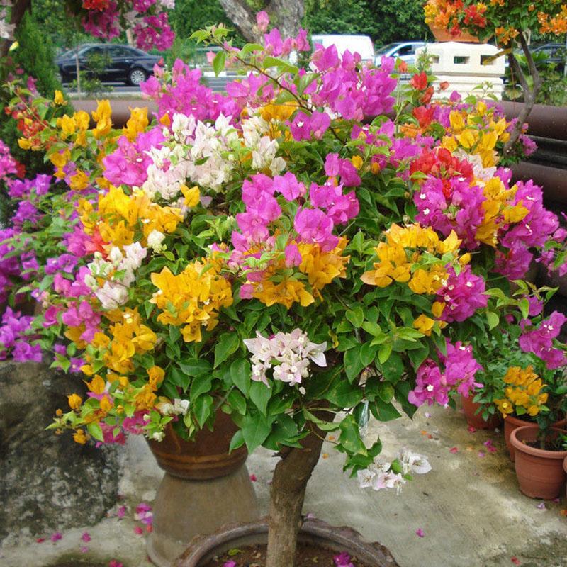 100 mix color bougainvillea spectabilis willd flower for Bonsai in vendita online
