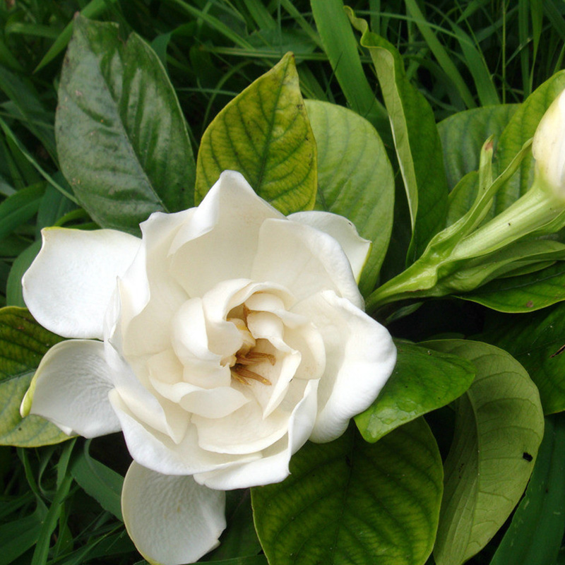 Gardenia jasminoides 100 Samen seeds Gardenie Cape Jasmine Bonsai NEU^\`