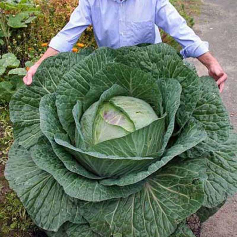 Selten 400Pcs Riesen Russische Kohlsamen Gemüsesamen Qualitäts Gemüse