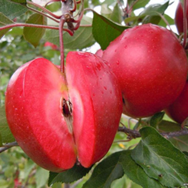 10 Samen  Apple-Samen Cara Garden Vitamin Köstliche Obst Samen
