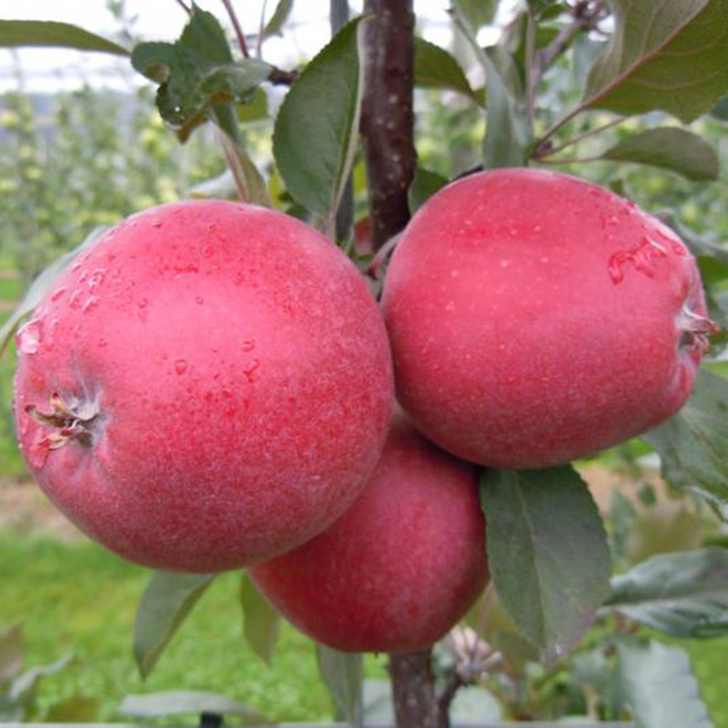 how to start an apple tree from seed