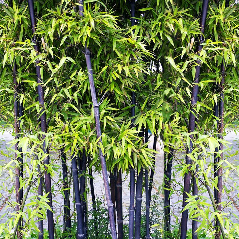 100 stk samen sch n lila riesenbambus dendrocalamus for Deko baum garten