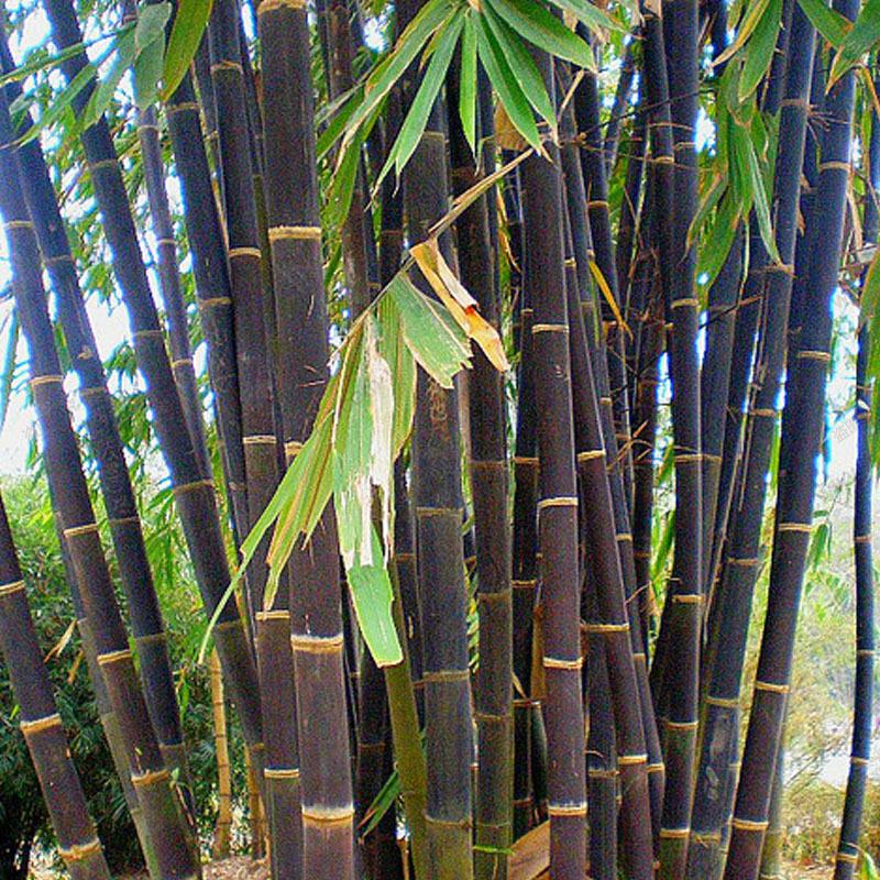 100stk samen lila riesenbambus dendrocalamus strictus baum for Deko baum garten